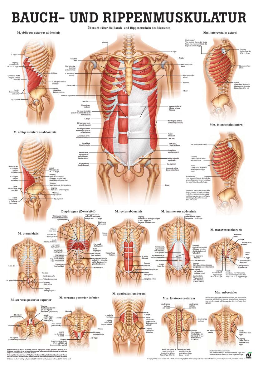 Bauch- und Rippenmuskulatur (Poster 50cm x 70cm) im AYURDEVA kaufen ...